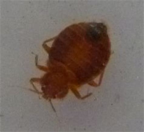 bed bugs in townhomes rove pest