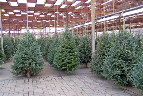christmas trees with farms for sale trees for sale free stock photo domain pictures
