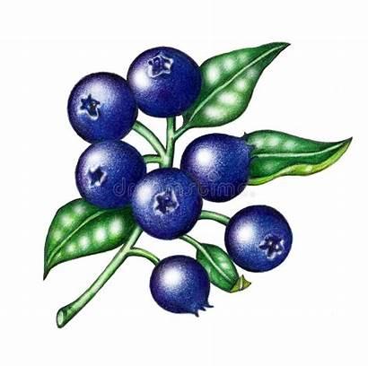 Blueberry Blueberries Clipart Blaubeeren Drawing Tree Plant