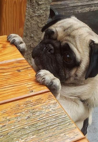 Pug Hungry