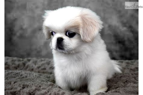 princess pekingese puppy  sale  san diego