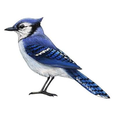 vogel blau