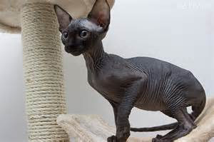 black sphynx cat gccf reg black charcoal grey sphynx boy watford