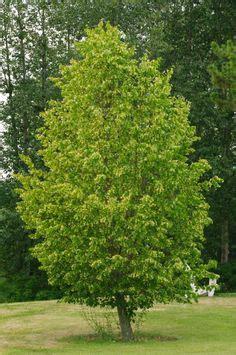 feature tree for front yard front yard landscape on pinterest 31 pins