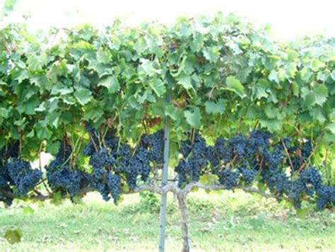 grape vine trellis 20 garden plants to grow vertically this year