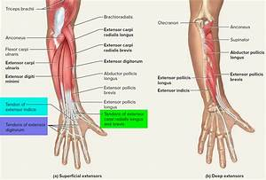 Tendon - Function  Arm  Hand Tendons