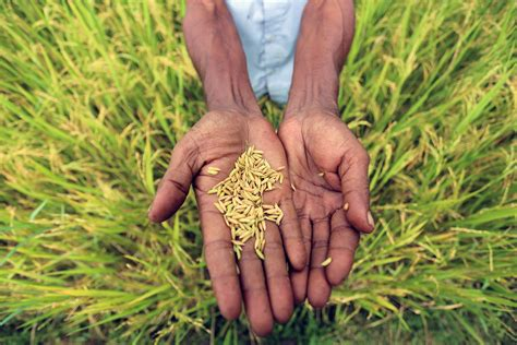 bangladesh triples rice production    nuclear