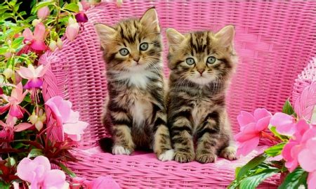 tabby kittens cats animals background wallpapers