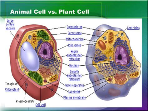 picture   animal cell  plant cell impremedianet