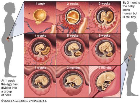Janin 2 Minggu Embryo Human Embryo Development Kids Encyclopedia