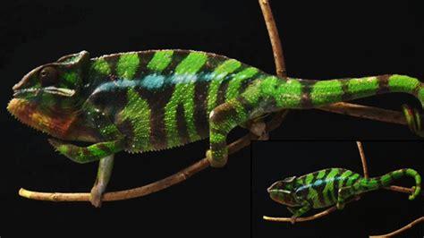 chameleon change color chameleon changing color gif