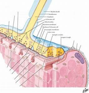 Neuromuscular Junction - Spinal Nerve - RR School Of Nursing