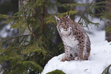 eurasischer luchs lynx lynx forum fuer naturfotografen