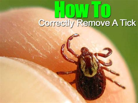 How To Correctly Remove A Tick