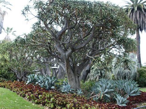 filealoe bainesii barberae aloe tree huntingtonjpg