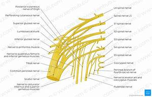 Diagram    Pictures  Sacral Plexus  Anatomy
