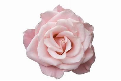 Rosa Transparent Rose Flowers Flower Roses Levantou