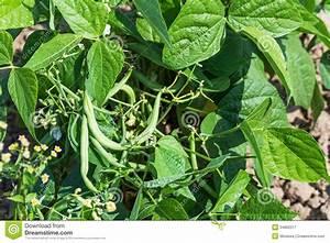Growing Young Green Beans Royalty Free Stock Photography ...