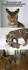 Baby Ocelot. | The Pet Shop | Pinterest | Babies