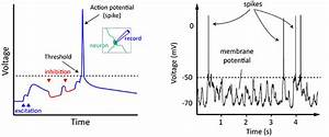 Action Potentials And Synapses - Queensland Brain Institute