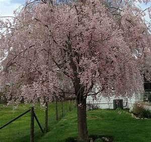 Weeping Cherry Tree – Last Train Vineyard  Weeping