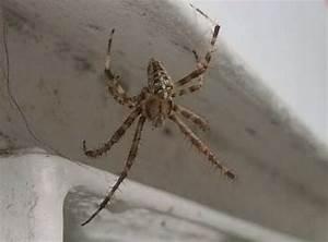 Weiße Spinne Deutschland : hochschule bremen die spinnen im berblick spinnenarten und lebensweise ~ Orissabook.com Haus und Dekorationen
