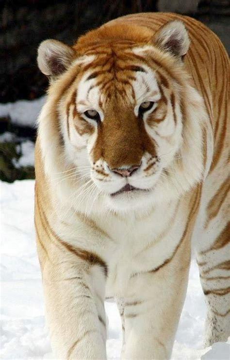 Best Ligers Images Pinterest Big Cats