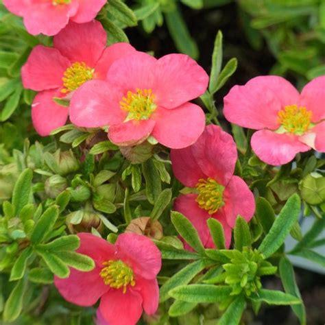 Buy shrubby cinquefoil Potentilla fruticosa 'Bellissima ...
