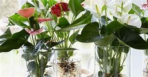 Anthurie Im Wasser : bare rooted anthurium growing in water hydroculture blomster pinterest water ~ Yasmunasinghe.com Haus und Dekorationen