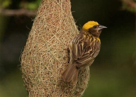 weaver bird baya weaver amazing indian weaver bird known for artistic nests most unbelievable amazing