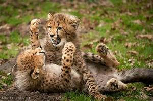 Cheetah cubs playing | Big Cats | Pinterest
