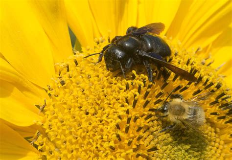 difference  bumblebees  carpenter bees