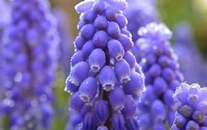 Blue muscari flowers macro photography, water drops ...