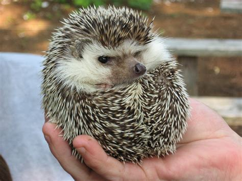 pet hedgehog duhdoebrainz brodawg grumpy hedgehog