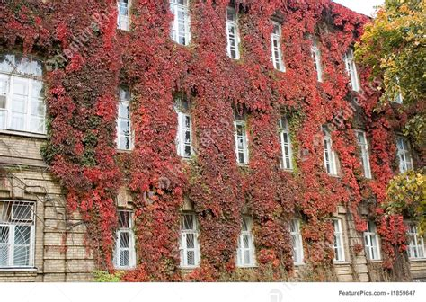 Residential Architecture Red Ivy Wall  Stock Picture