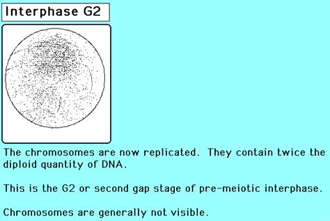 meiosis stages  dr newman