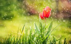 Beautiful Red tulip flowers in rain-widescreen rain and ...