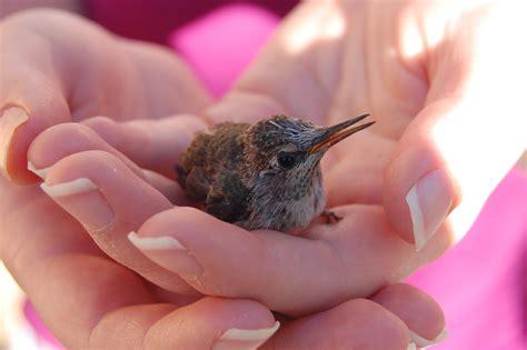 baby hummingbird aww
