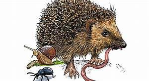 Fressen Igel Mäuse : warum machen igel einen winterschlaf coopzeitung ~ Orissabook.com Haus und Dekorationen