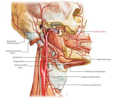 easy notes  maxillary arterylearn    minutes