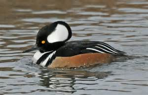 Drake Hooded Merganser Hen