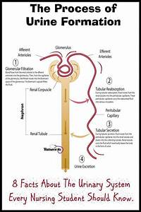 8 Facts About The Urinary System Every Nursing Student ...
