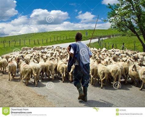shepherd with his sheep herd royalty free stock photo