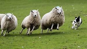 Secret of herding sheep discovered - BelfastTelegraph.co.uk