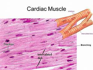 The intercalated discs in cardiac muscle tissue quizlet