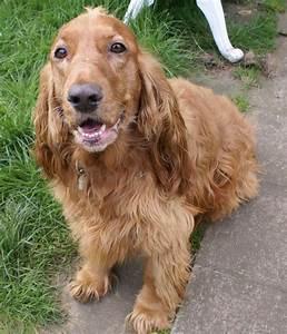 English Cocker Spaniel - My Doggy Rocks