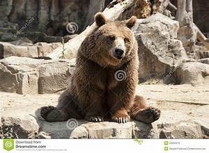 Brown Bear - Ursus Arctos Royalty Free Stock Images ...