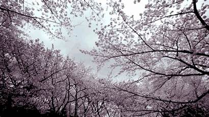 Cherry Blossom Tree Blossoms Japan Motion Spring