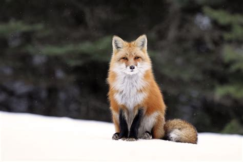 best fox pictures fox tries at photography in algonquin park toronto