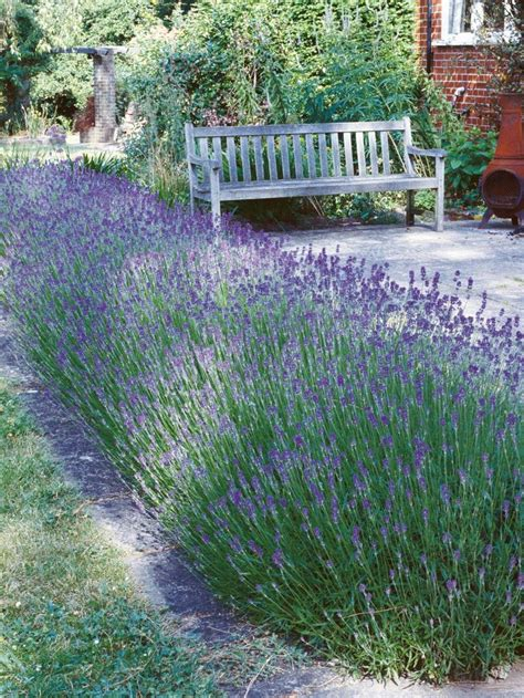 does lavender grow in florida top 25 best front yard hedges ideas on pinterest